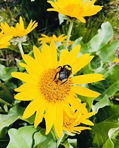 Arrowleaf balsamroot flower with a bee